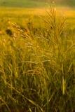 Grama selvagem dourada no por do sol Imagem de Stock