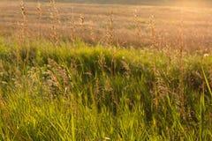 Grama selvagem dourada no por do sol Fotos de Stock Royalty Free