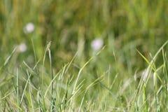 Grama selvagem em Alberta Canada Imagem de Stock Royalty Free