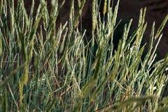 Grama selvagem no deserto fotografia de stock