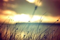 A grama selvagem no vintage do por do sol do verão colore o fundo Imagens de Stock