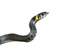 Grama-serpente Imagem de Stock Royalty Free
