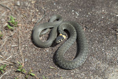 Grama-serpente Imagem de Stock Royalty Free