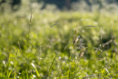 Grama, spikelets Fotografia de Stock Royalty Free