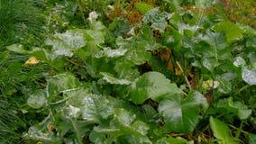 Grama suculenta após a chuva com gotas da água Foto de Stock