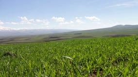 Grama suculenta verde nova em um prado picado no verão no vento contra o contexto da paisagem magnífica da montanha vídeos de arquivo