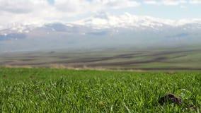 Grama suculenta verde nova em um prado picado no verão no vento contra o contexto da paisagem magnífica da montanha filme