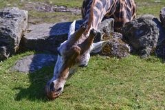Grama-tosquiadeira do girafa imagem de stock royalty free