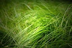 Grama verde Imagem de Stock Royalty Free