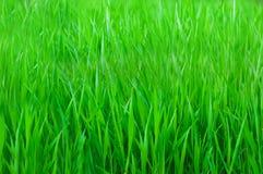 Grama verde Imagens de Stock