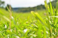 Grama verde Fotografia de Stock