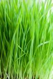 Grama verde alta Fotos de Stock Royalty Free