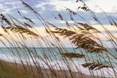 Grama verde alta nas dunas do oceano Foto de Stock
