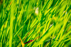 Grama verde bonita Foto de Stock Royalty Free
