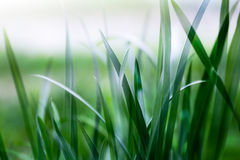 Grama verde-clara Foto de Stock Royalty Free