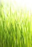 Grama verde-clara Foto de Stock
