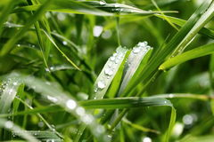 Grama verde com gotas Imagem de Stock Royalty Free