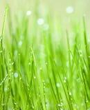 Grama verde com gotas da água Fotos de Stock