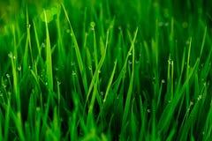Grama verde com gotas de orvalho do amanhecer Foto de Stock