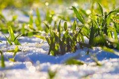 Grama verde com gotas de orvalho no fundo da neve Wint ensolarado fotografia de stock royalty free