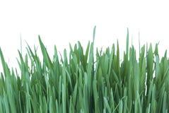 Grama verde com orvalho Imagens de Stock Royalty Free