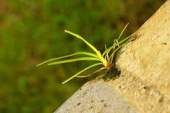 Grama verde crescente no tijolo Imagens de Stock Royalty Free