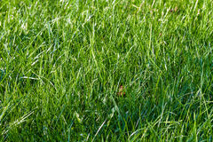 Grama verde da mola fresca Fotografia de Stock Royalty Free