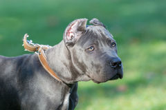 Grama verde de Cane Corso Female Puppy Standing On exterior Imagem de Stock Royalty Free