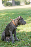 Grama verde de Cane Corso Female Puppy Standing On exterior Imagens de Stock Royalty Free