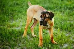 Grama verde de Cane Corso Whelp Puppy Standing On Imagens de Stock Royalty Free