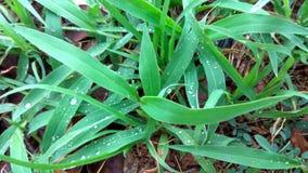 Grama verde de Rainey imagem de stock