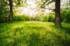 Grama verde de Sunny Deciduous Forest Trees And do verão A natureza, corteja imagem de stock