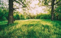 Grama verde de Sunny Deciduous Forest Trees And do verão Natureza, madeiras na luz solar foto de stock