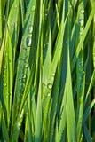 Grama verde do trigo com dewdrops Foto de Stock Royalty Free