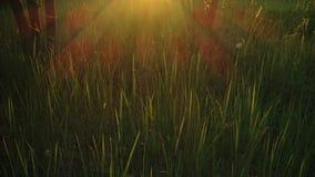 Grama verde durante o por do sol ou o nascer do sol, a luz solar que quebram através da grama e as árvores vídeos de arquivo