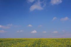 Grama verde e céu amarelo do planta e o azul Fotos de Stock Royalty Free