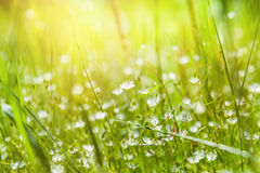 Grama verde e flores brancas pequenas no campo Fotos de Stock Royalty Free