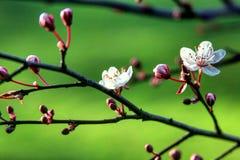 Grama verde e flores pequenas brancas Fotografia de Stock Royalty Free