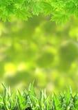 Grama verde e folhas de bordo do verão Fotos de Stock