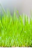 Grama verde e orvalho frescos Foto de Stock Royalty Free