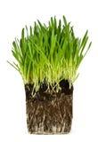 Grama verde e raizes Fotografia de Stock