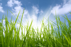 Grama verde e sol Imagens de Stock Royalty Free