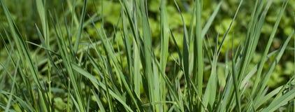 Grama verde em uma textura e em um fundo ensolarados do dia de verão Fim detalhado acima da felicidade vibrante vital colorida br imagem de stock royalty free