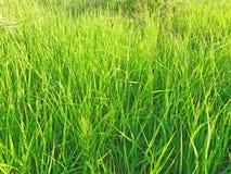 Grama verde ensolarada Imagem de Stock