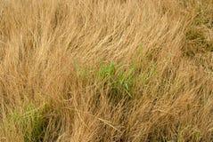 Grama verde entre a grama seca imagens de stock