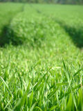 Grama verde fresca Fotografia de Stock Royalty Free