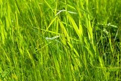 Grama verde fresca Backlit Imagens de Stock Royalty Free