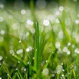 A grama verde fresca com água deixa cair no fundo da luz solar Foto de Stock