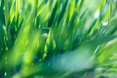 Grama verde fresca com gota de água na luz do sol Imagem de Stock