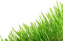 Grama verde fresca com gotas da água isolada no fundo branco Imagens de Stock